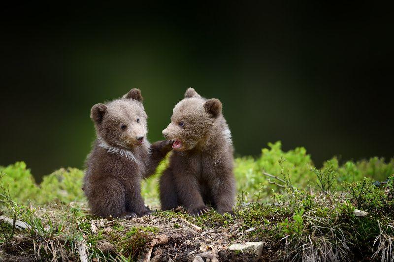 Peut-être aurez-vous la chance de voir des oursons.
